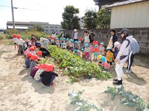 芋の苗植えから収穫まで-3